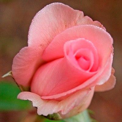 Роза чайно-гибридная Коперник