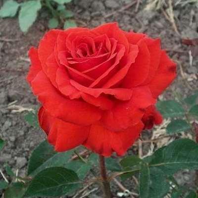 Роза чайно-гибридная Лидка