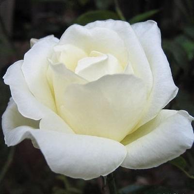 Роза чайно-гибридная Маунт Шаста