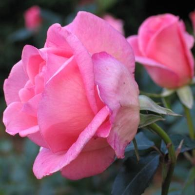 Роза чайно-гибридная Эйфель Тауэр