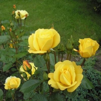 Роза флорибунда Артур Белл