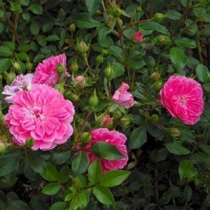 Роза флорибунда Венеда
