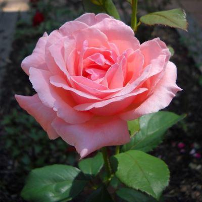 Роза флорибунда Квин оф Ингланд