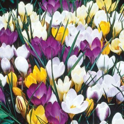 Крокус ботанический Смесь окрасок