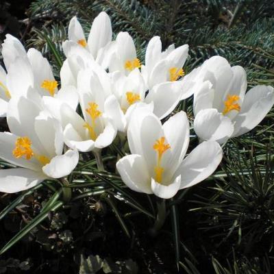 Крокус крупноцветковый Жанна Дарк