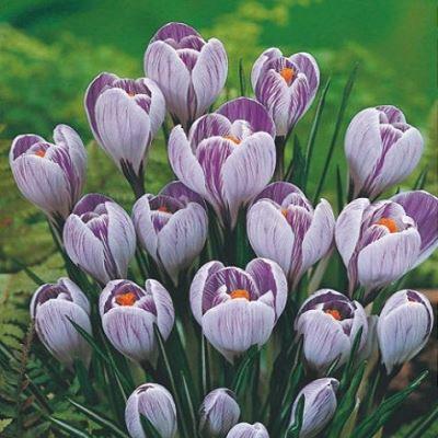 Крокус крупноцветковый Пиквик