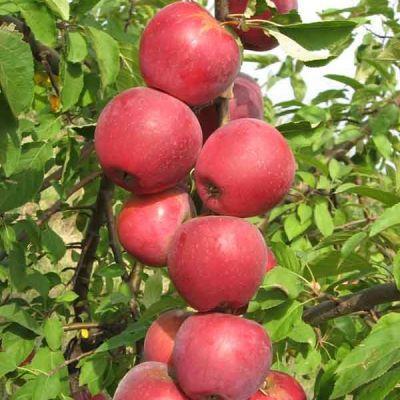 Яблоня колонновидная Пьедестал