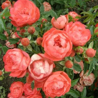 Роза миниатюрная Ориндж Морсдаг