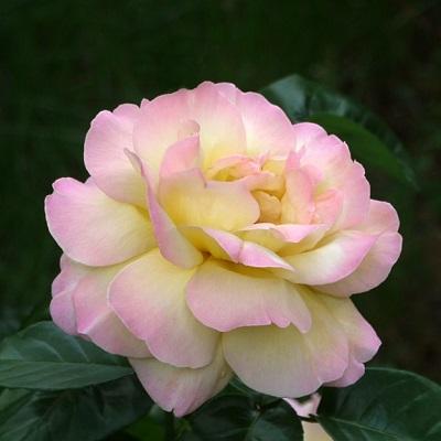 Роза чайно-гибридная Пис (Глория Дей)