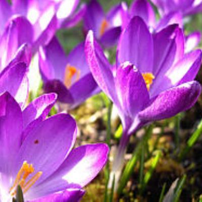 Крокус крупноцветковый Квин ов Блюз