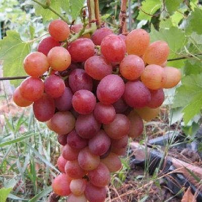 Виноград плодовый Ливия