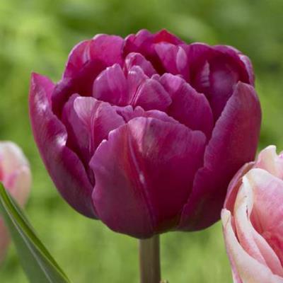 Тюльпан махровый ранний Маргарита