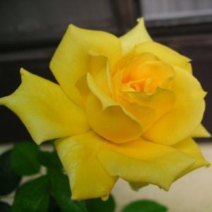 Роза плетистая Клайминг Санблест