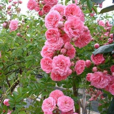 Роза плетистая Франсуа Юренвиль