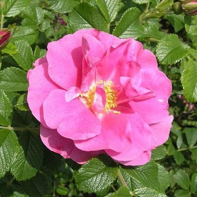 Роза канадская парковая Дженс Манк