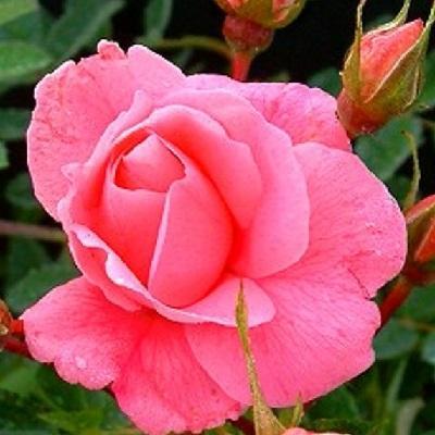 Роза канадская парковая Прайри Даун