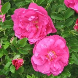 Роза канадская парковая Чарльз Альбанель