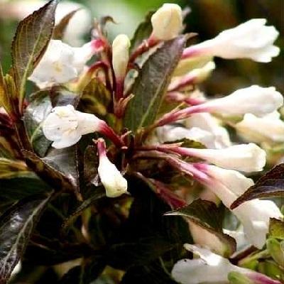 Вейгела цветущая Блэк энд Вайт