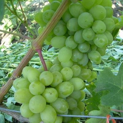 Виноград плодовый Гарольд