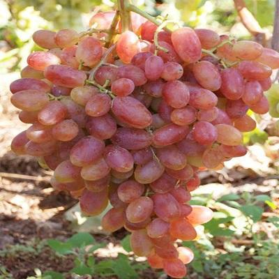 Виноград плодовый Юбилей Новочеркасска