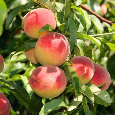 Персик Орлиный