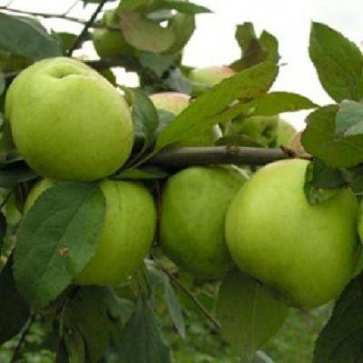 Яблоня карликовая Соколовское