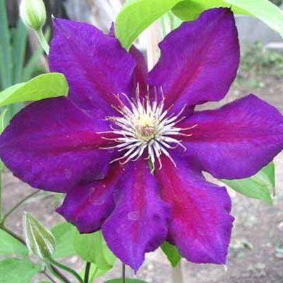Клематис крупноцветковый Юлька