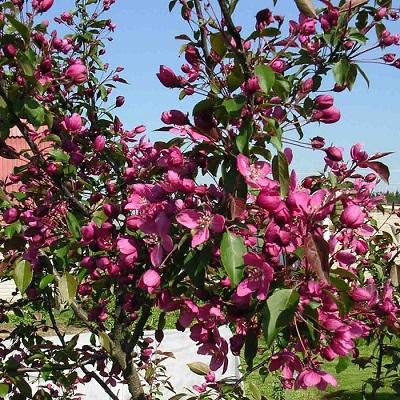 Яблоня декоративная Макамик