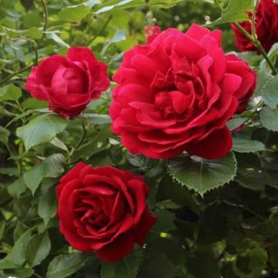 Роза плетистая Блейз Супериор