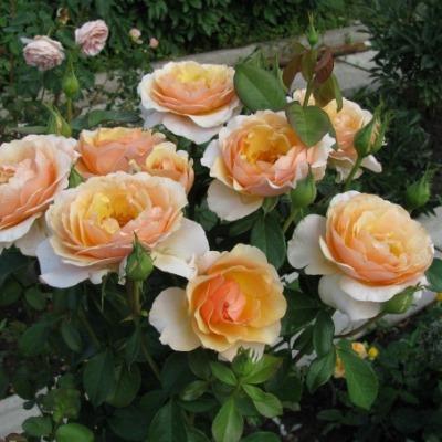 Роза чайно-гибридная Дорис Тистерман