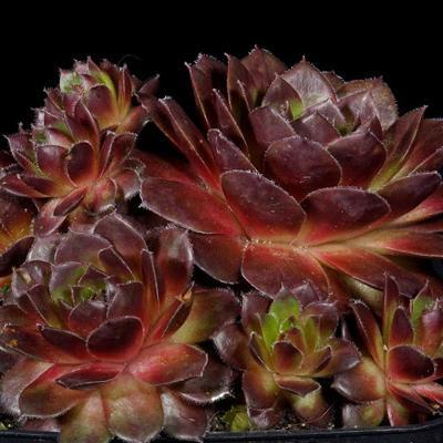 Молодило кровельное Пурпуреум