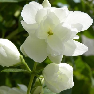 Жасмин садовый Инносенс