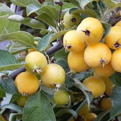 Яблоня колонновидная Китайка желтая