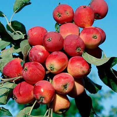 Яблоня колонновидная Китайка красная