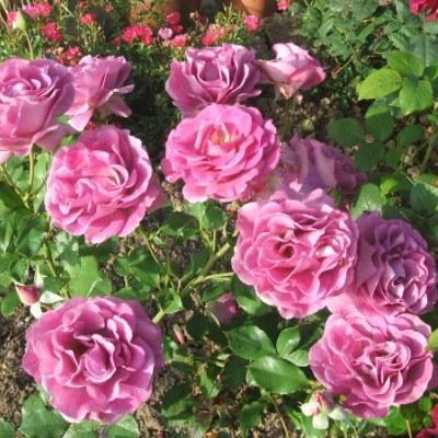 Роза чайно-гибридная Виолет Парфюм