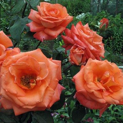 Роза чайно-гибридная Тройка