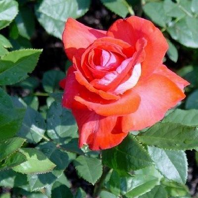 Роза флорибунда Кэп Хорн