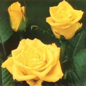 Роза флорибунда Фриско