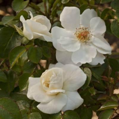 Роза канадская парковая Милли Винтер Джевел