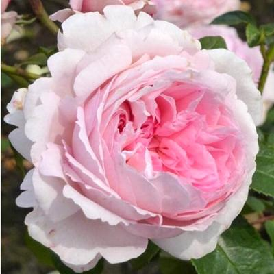 Роза Кордес парковая Принцесса Александра Люксембургская