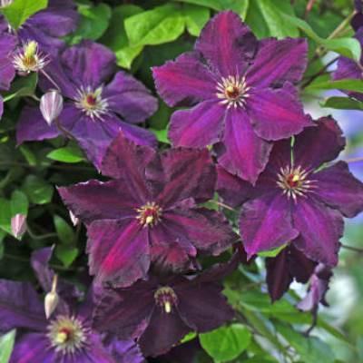 Клематис крупноцветковый Грюнвальд