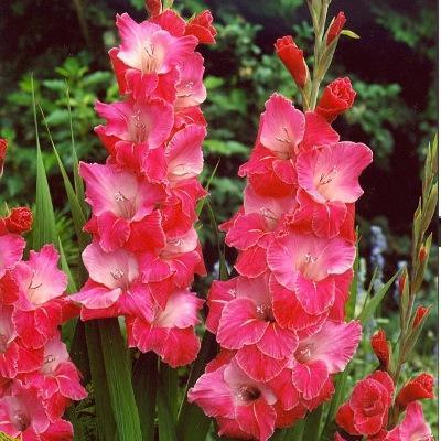Гладиолус крупноцветковый Эва Пьюксо