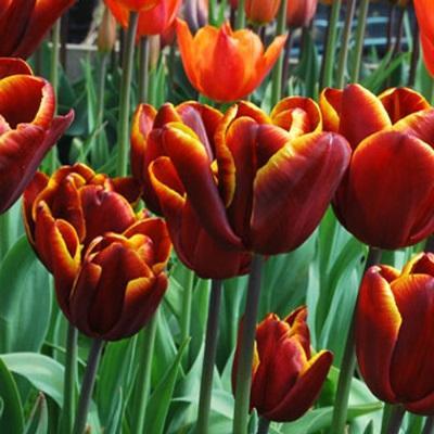Тюльпан Триумф Абу Хасан