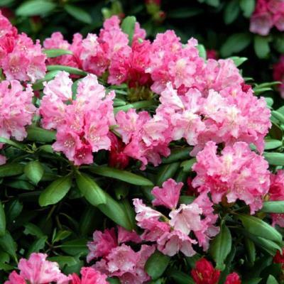 Рододендрон якушиманский Роза Вольке