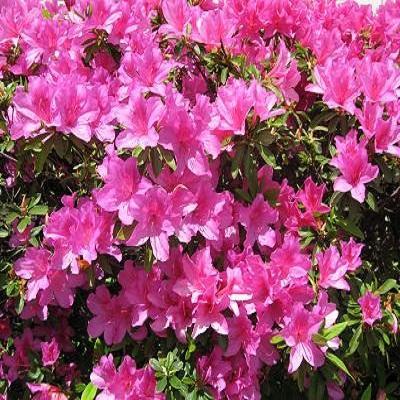 Клематис крупноцветковый Доктор Раппел