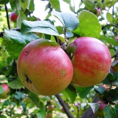 Яблоня карликовая Приземленное