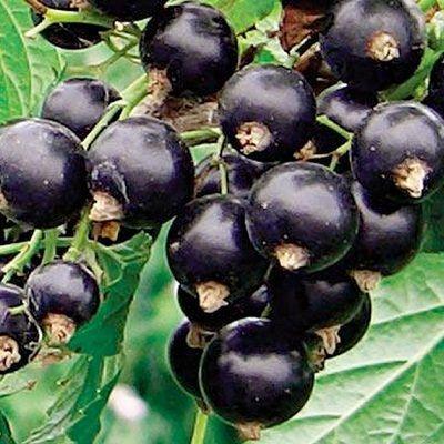 Смородина черная Оджебин