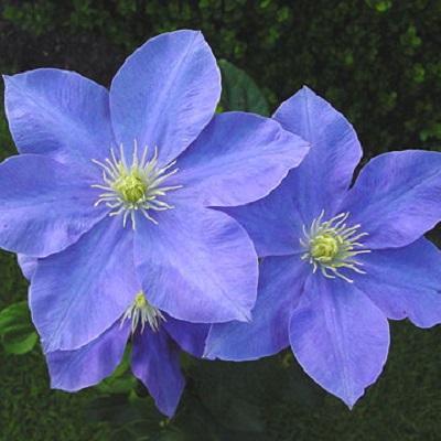 Клематис крупноцветковый Фуджимусум