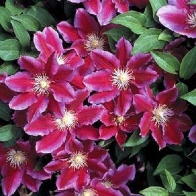 Клематис крупноцветковый Ханиа