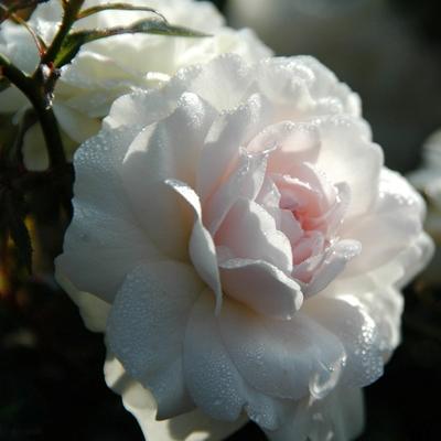 Роза почвопокровная Сноуфилд